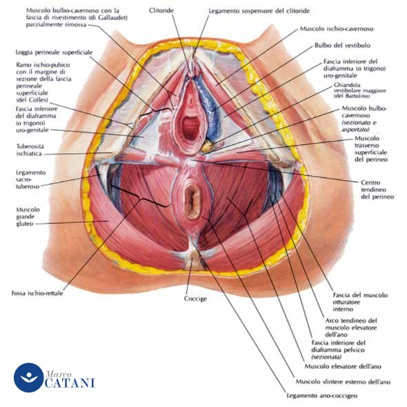 anatomia-netter
